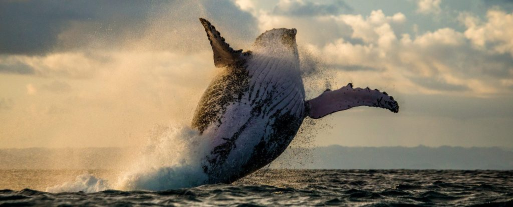 humpback whale breaching out of the ocean