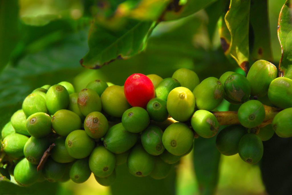 Where is Kona Coffee Grown - coffee cherries on a coffee tree branch